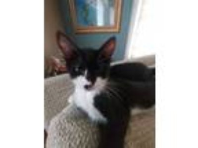 Adopt CAROLINE (Kitten) a Domestic Short Hair