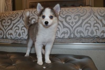 Pomsky PUPPY FOR SALE ADN-79846 - Pomsky puppies