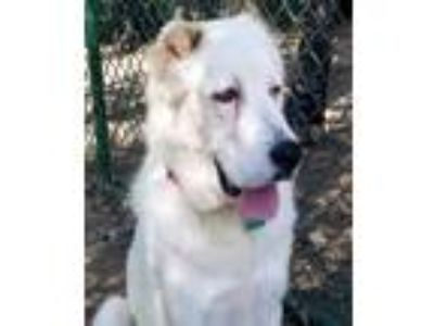 Adopt Waffle a Great Pyrenees