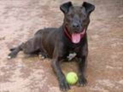 Adopt CARSON a American Staffordshire Terrier, Mixed Breed