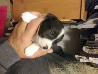 Parson Russell Terrier PUPPY FOR SALE ADN-75766 - Purebred Parsons Jack Russell Terrier puppies