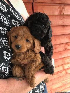 Cavapoodle puppies for sale