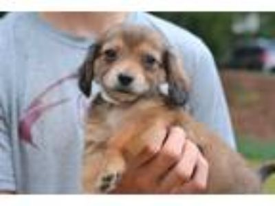 Adopt Music - Clarice Litter a Brown/Chocolate Dachshund / Mixed dog in