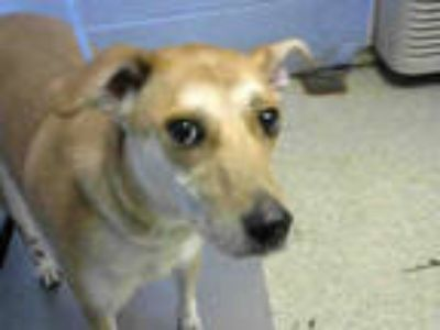 Adopt ZOEY a Red/Golden/Orange/Chestnut - with White Beagle / Labrador Retriever