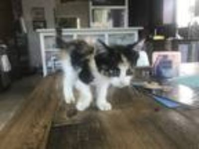 Adopt Firestone a Calico or Dilute Calico Calico cat in Pensacola, FL (25588590)