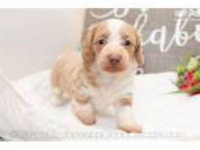 Peach - Red piebald female SILKY WIREHAIR
