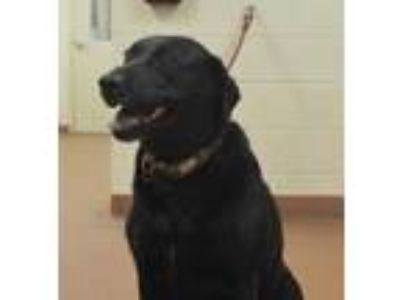 Adopt 57749 Lexi a Black Labrador Retriever / Mixed dog in Spanish Fork