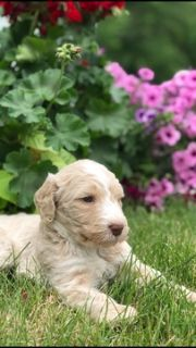 Goldendoodle PUPPY FOR SALE ADN-79328 - 2nd generation Goldendoodles  WILL SHED LESS