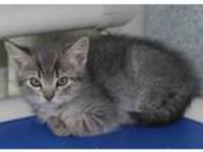 Adopt Plum a Gray or Blue Domestic Shorthair / Domestic Shorthair / Mixed cat in