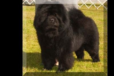 Darling AKC Chow puppies