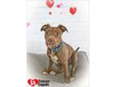 Adopt Tito a Pit Bull Terrier