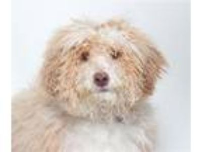 Adopt Picnic a Poodle
