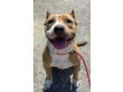 Adopt Jazzy a Tan/Yellow/Fawn American Pit Bull Terrier / Mixed dog in Norfolk