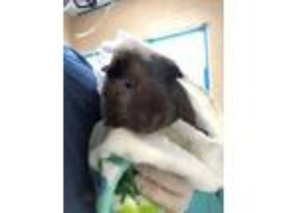 Adopt Brownie a Brown or Chocolate Guinea Pig / Mixed small animal in