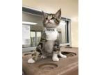 Adopt George a Bengal / Mixed cat in Birmingham, AL (25308140)