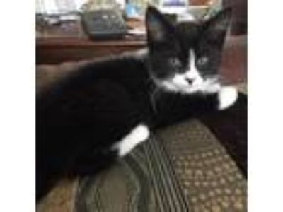Adopt Mollie Mae a Black & White or Tuxedo Domestic Shorthair / Mixed cat in
