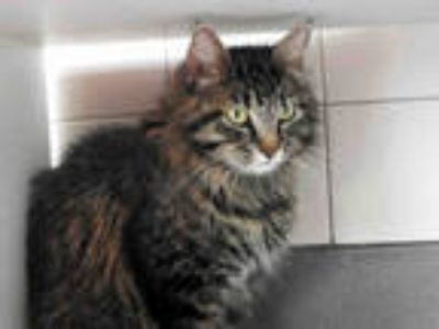 Adopt RAE a Brown Tabby Domestic Mediumhair / Mixed (medium coat) cat in Denver
