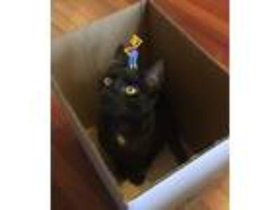 Adopt Cypher a Black & White or Tuxedo American Shorthair cat in Philadelphia