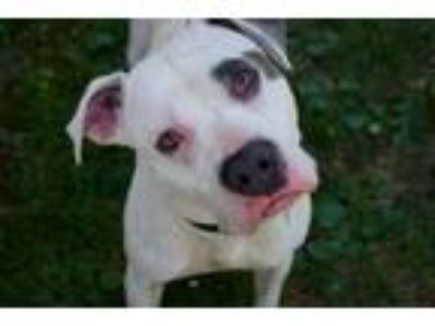 Adopt Pirate a Staffordshire Bull Terrier