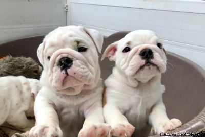 ENGLISH BULLDOG MALE REHOMING