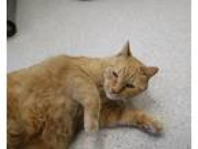 Adopt Jack a Orange or Red Domestic Shorthair (short coat) cat in Houghton