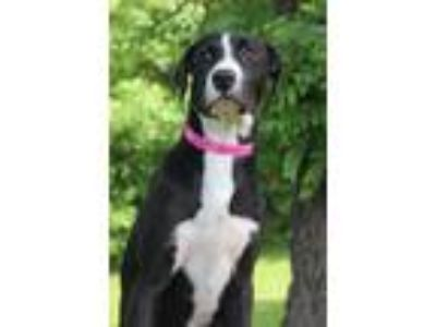 Adopt Mackenzie a Black - with White Labrador Retriever / Mixed dog in Waldorf