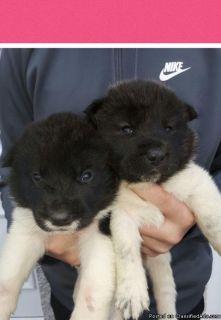 stunning Akita puppies four