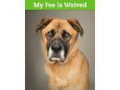 Adopt Maximus a Anatolian Shepherd, Great Dane