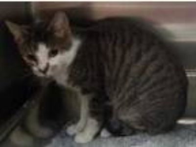 Adopt Milo a Gray or Blue Domestic Shorthair / Domestic Shorthair / Mixed cat in