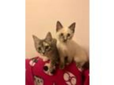 Adopt Sable, Siana & Sybil a Domestic Short Hair