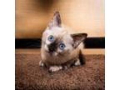 Adopt Stormi a Siamese, Domestic Short Hair