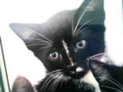 Adopt TIM a Black & White or Tuxedo Domestic Shorthair / Mixed (short coat) cat