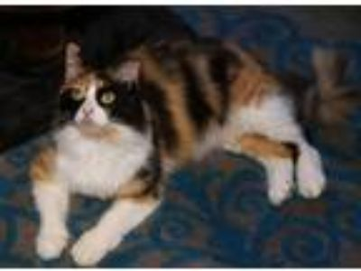 Adopt Aria a Norwegian Forest Cat / Mixed (long coat) cat in ROSENBERG