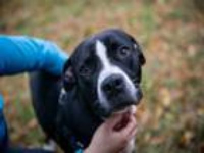 Adopt AUSTIN a Pit Bull Terrier, Mixed Breed