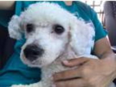 Adopt Luther a Miniature Poodle