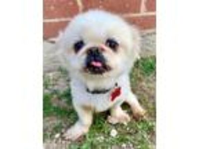 Adopt Harry a Pekingese
