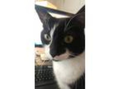 Adopt Lovebug a Black & White or Tuxedo Domestic Shorthair cat in South Jordan
