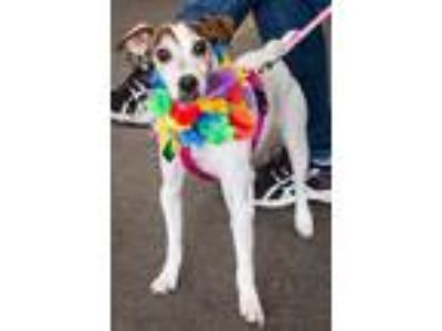 Adopt Zoey a Tricolor (Tan/Brown & Black & White) Jack Russell Terrier / Mixed