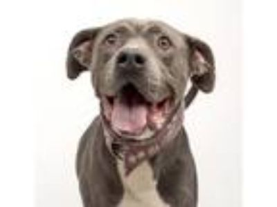 Adopt Hank a American Staffordshire Terrier, Mixed Breed