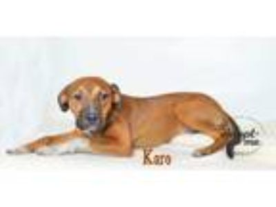 Adopt Karo a Tan/Yellow/Fawn Boxer / Hound (Unknown Type) / Mixed dog in