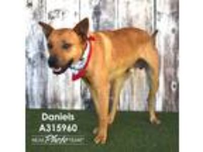 Adopt DANIELS a Red/Golden/Orange/Chestnut Basenji / Mixed dog in Conroe