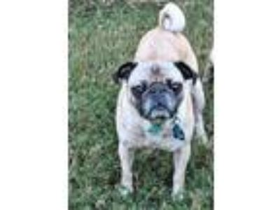 Adopt Emma a Tan/Yellow/Fawn - with Black Pug / Mixed dog in Grapevine