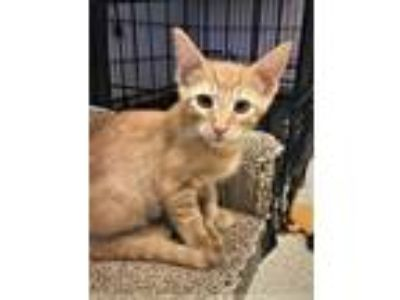 Adopt Kitten Leif a Domestic Short Hair