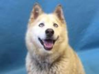 Adopt Balto a Siberian Husky, Mixed Breed
