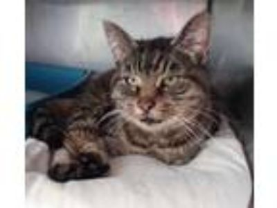 Adopt Sola a Domestic Short Hair