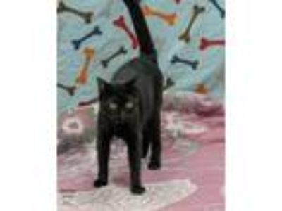 Adopt Stephan a Domestic Shorthair / Mixed cat in Lake Jackson, TX (24675669)