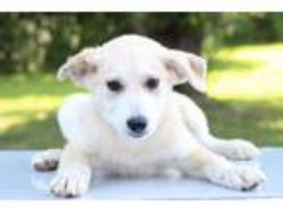 Adopt Fran a White Collie / Mixed dog in Waldorf, MD (25877936)