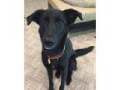 Adopt JoJo a Black Labrador Retriever / Mixed dog in Houston, TX (23541570)