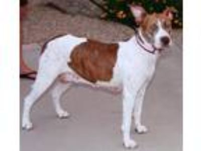 Adopt Roxy a German Shorthaired Pointer, American Staffordshire Terrier