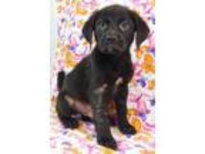 Adopt Braiden a Labrador Retriever